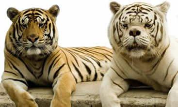 тигр кенни умственно отсталый фото