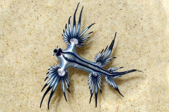 голубой дракон фото моллюск