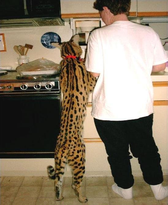 большой кошка