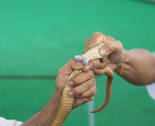 Анальные шпоры у змей