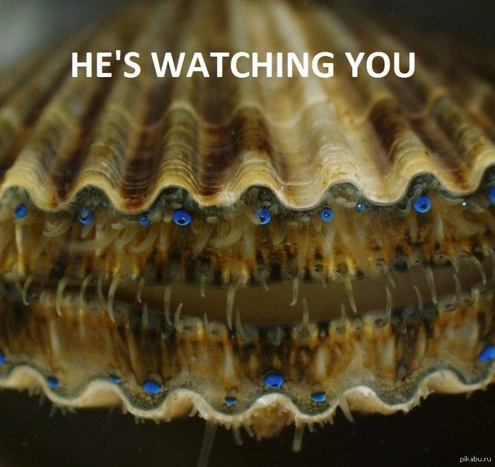 юная особь морского гребешка Argopecten irradians 0_0 ссылка на оригинал http://www.ridus.ru/news/38402/#.UDX9HumpwnE.vk