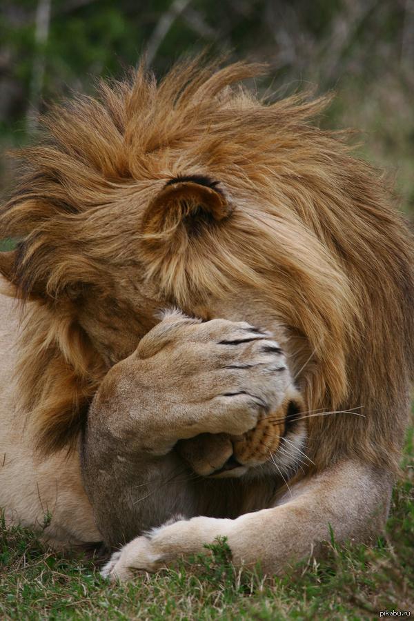 Прикольный лев картинка
