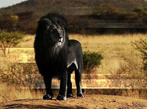 black lion video 1992 imdb - HD1920×1080