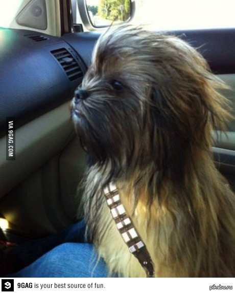 dog that looks like chewbacca - 592×777
