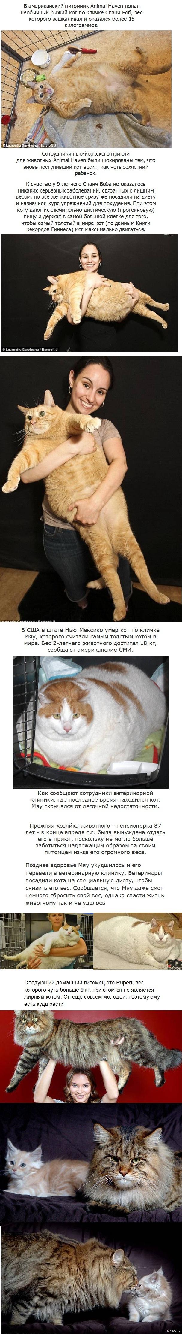 Коты - тяжеловесы.