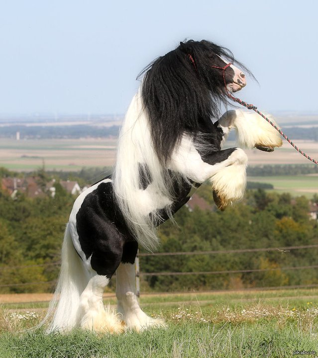 Black and white shire horse