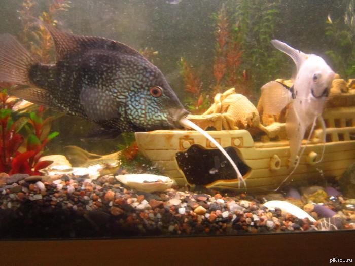 Заглот Ребят, одна рыба съела другую, но проглотить её не может :D Что делать? Батя расстроился, любимая рыбка как никак. Еще фото в комментариях.
