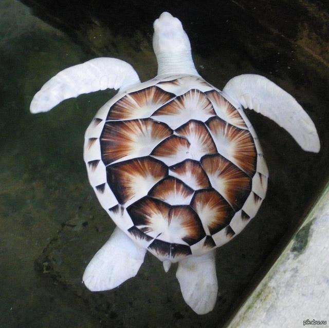 Черепаха альбинос!