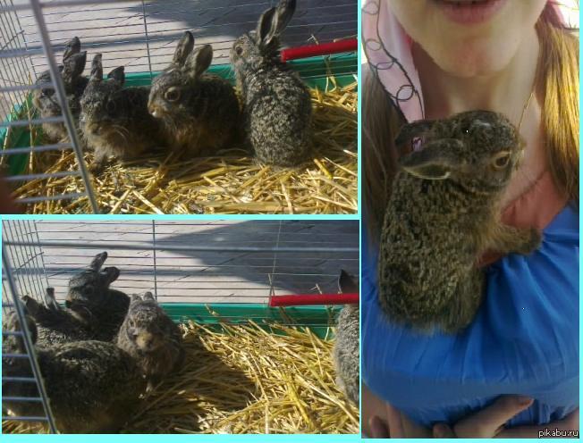 А мы нашли маленьких зайчат. После родов мать оставляет своих детенышей, и их кормит любая другая, оказавшаяся рядом зайчиха. Мы нашли их у себя на огороде и решили кормить сами.