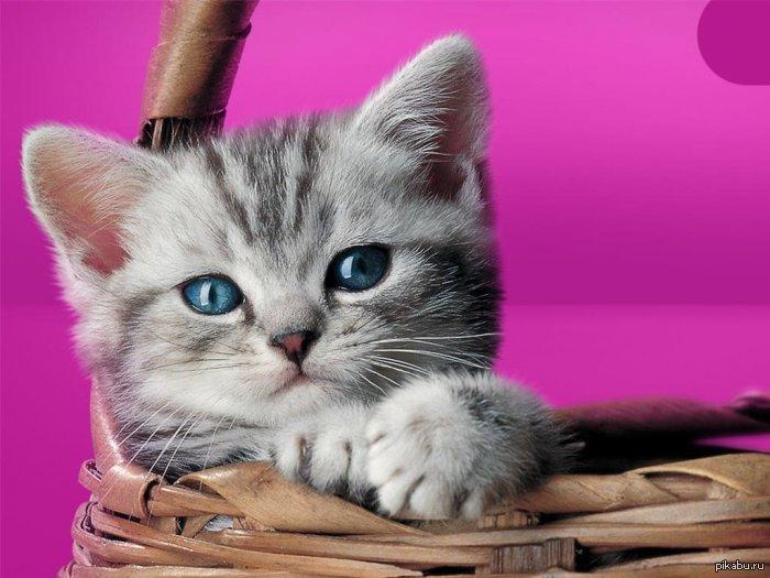 По характеру шотландская вислоухая кошка олицетворяет идеальное создание, с уравновешенной психикой. Тем не менее, это правда. Сккотиш фолды без проблем адаптируются к любой обстановке и окружению. Они прекрасно чувствуют себя и в семье с детьми, и в доме у одинокого человека.