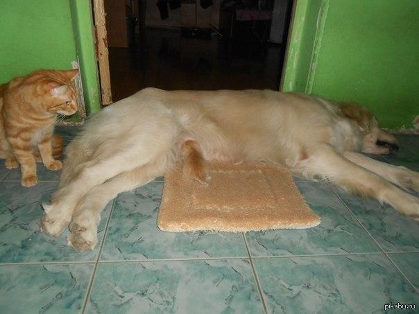 Котенок сосет письку другого котенка
