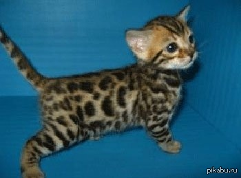 leopard cats for sale in texas