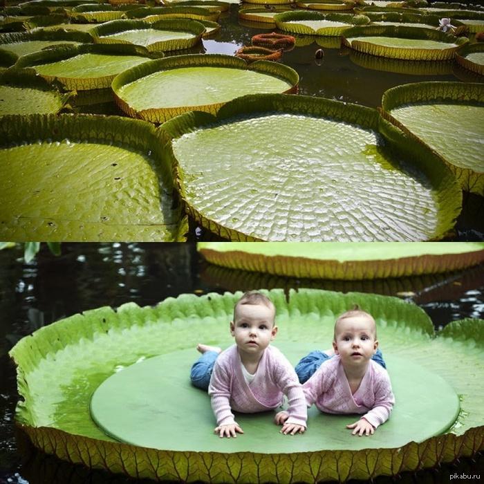 Виктория амазонская Лист, плавающий на поверхности воды,может выдержать до 50 кг