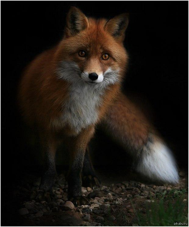 fox animal totem