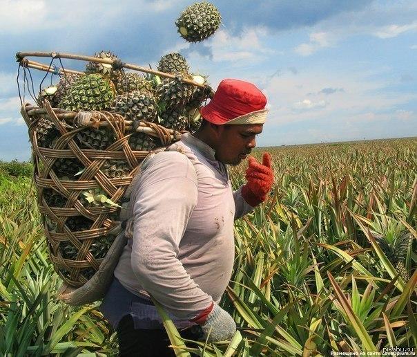 Так собирают ананасы.