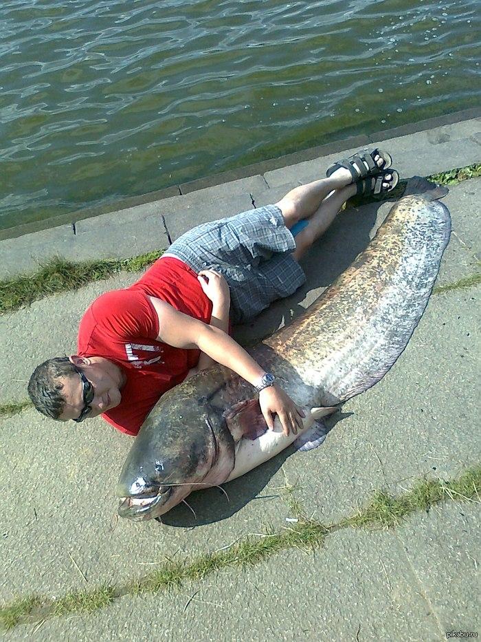Вот такого сома у нас в городе поймали на днях Где-то 80 кг. Поймали на Иваньковском водохранилище
