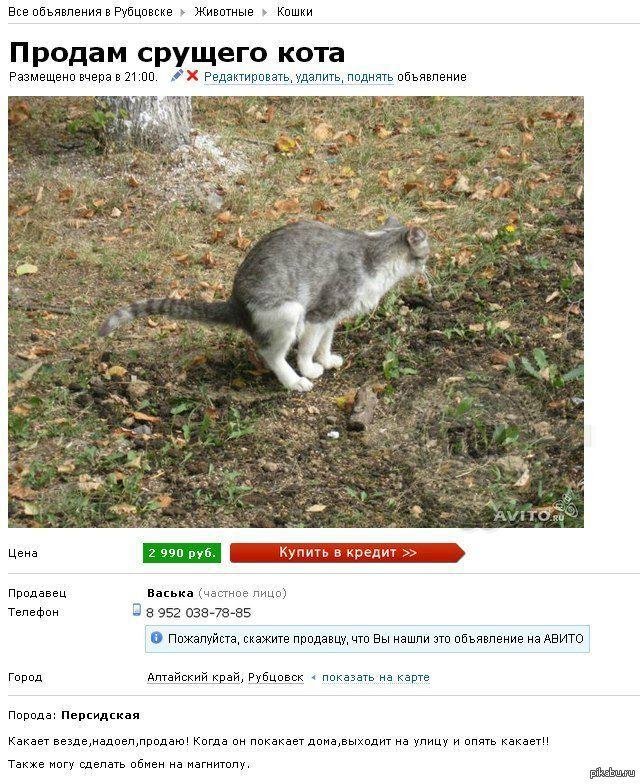 Продать кота на авито