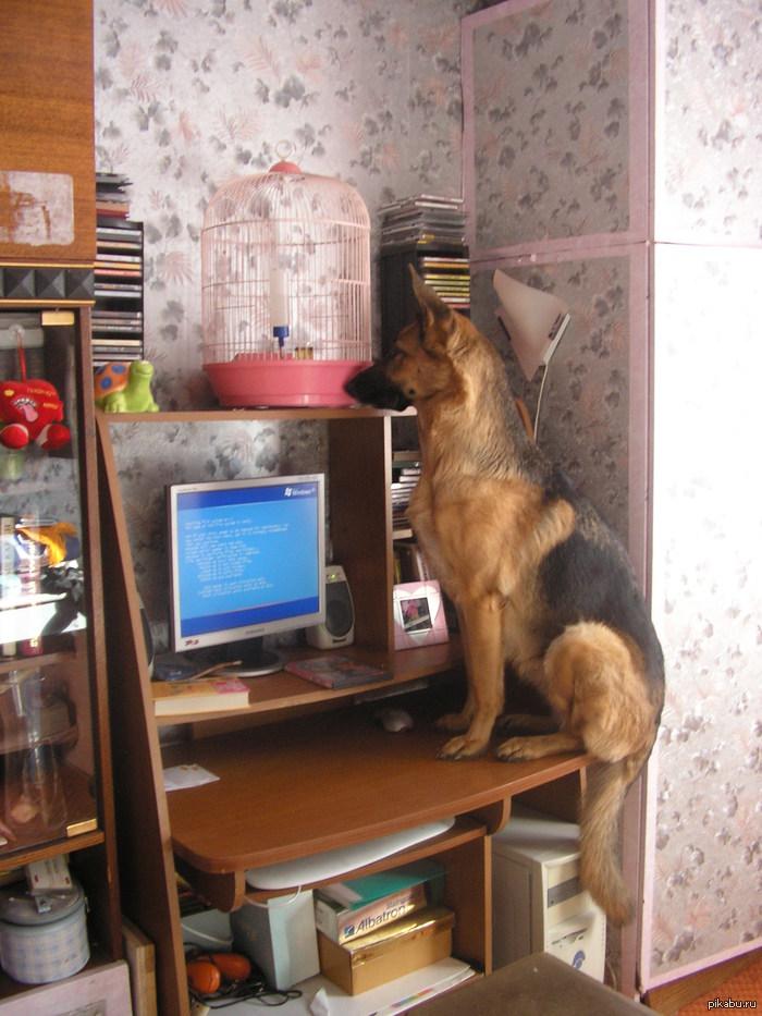 Собака на стол залезака )) и диски выбирака ))