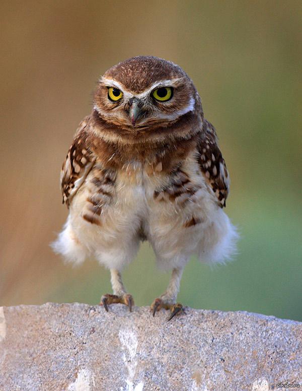 Смешная картинка сова