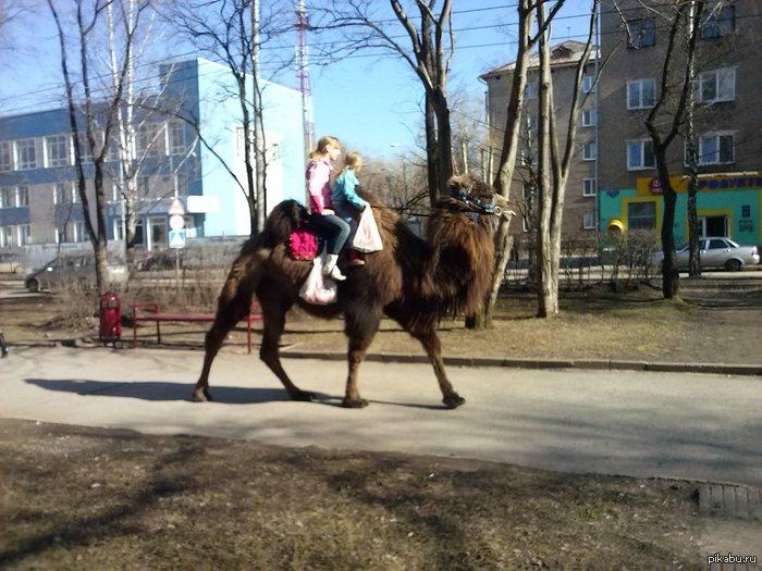 люблю наш город детки выгуливают верблюда по алее) первый раз увидила глазам не поверила)