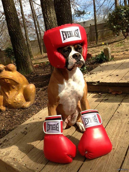 Смешные картинки боксер, внимание картинки анимация