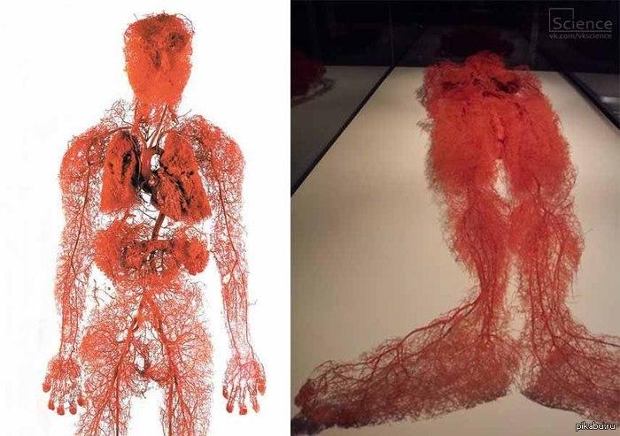 Кровеносные сосуды в организме человека В тело покойного вводится полимер, он заполняет всю систему кровеносных сосудов, далее плоть и кости растворяют.