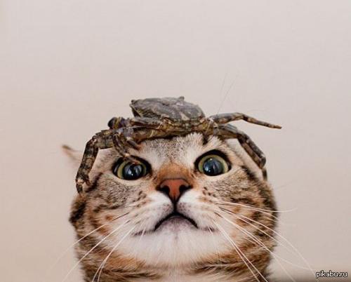 Краб с котом