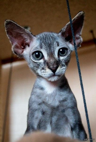 Купить кота сфинкс цена
