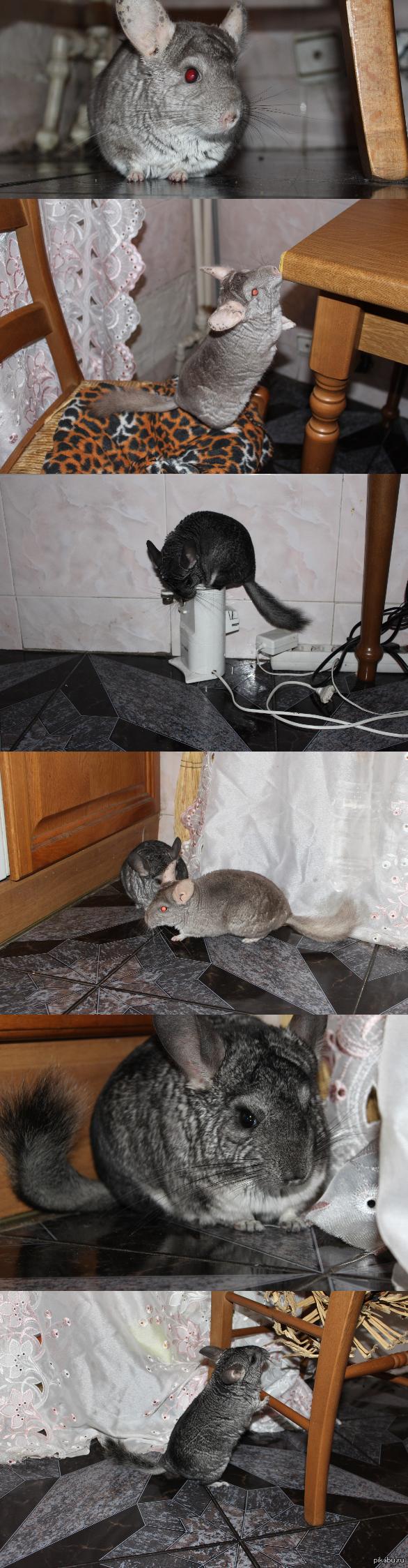 У всех коты, а у меня шиншиллы ^_^ Шин и Шила =)