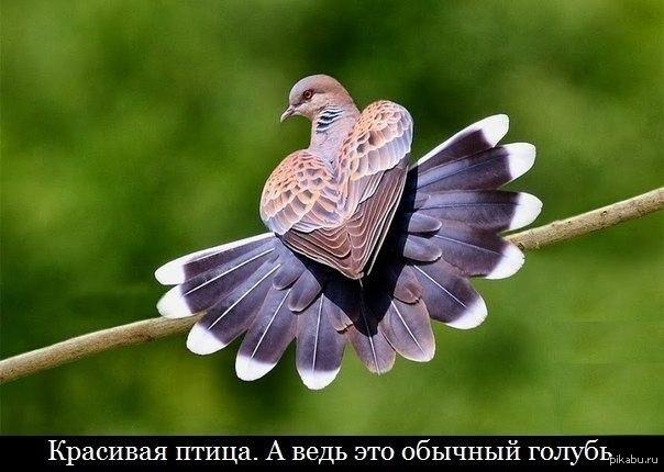 горлица голубь фото