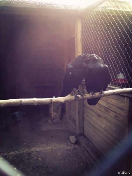 """Love Это старожилы Нижегородского зоопарка """"Лимпопо"""", вороны Гоша и Гала. Они любят друг друга:) Фото мое. Бонусом в коментах сова)"""