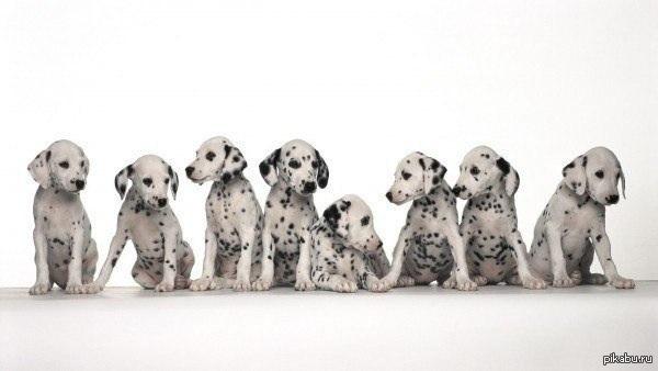"""В фильме """"101 далматинец"""" на самом деле снялись 233 собаки этой породы."""