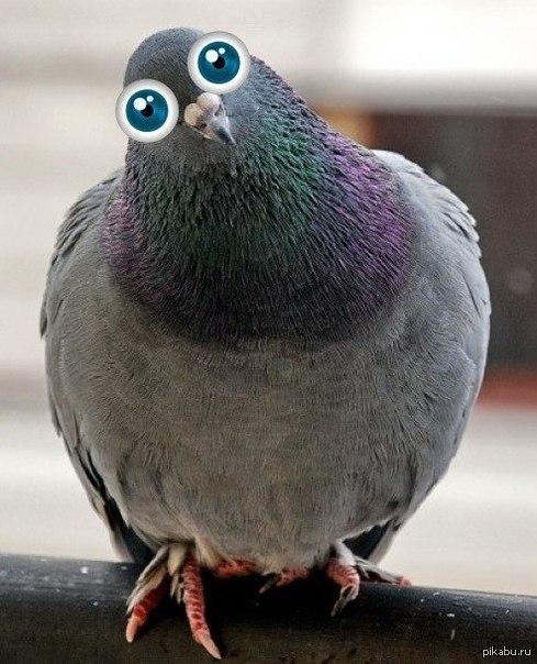 Курлык голубь картинка