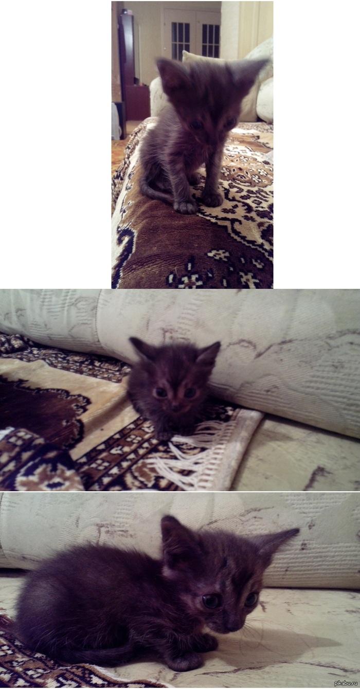 Котенок даром Девочка, 2 месяца, Красноярск.  Ищет теплый и уютный дом, а так же добрых хозяев!  По всем вопросам обращаться по телефону:   8-967-605-46-22.