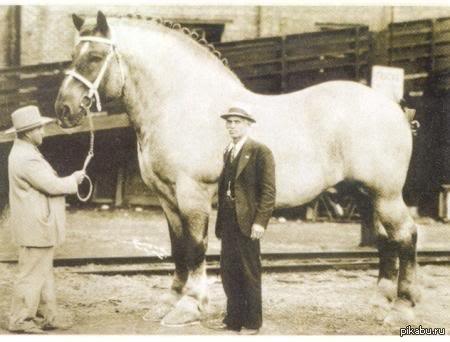 world's largest horse - 800×581