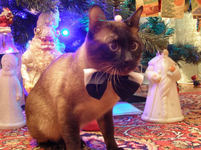Кот встречает новый год Повесил бантик ему, приобрел праздничный вид)  С Новым Годом пикабу!