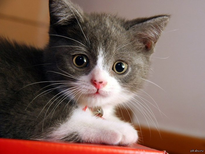 How do you know if a kitten is male or female