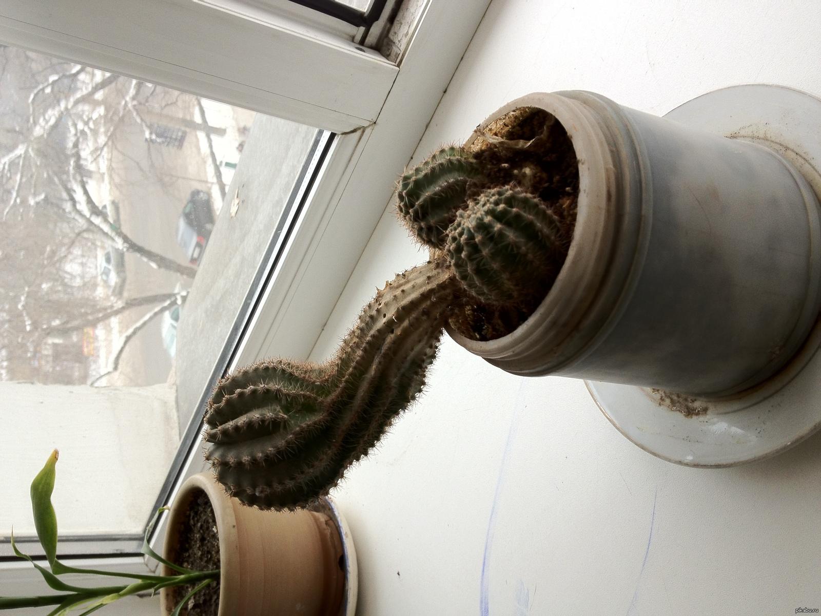 Демотиваторы кактусы на окне