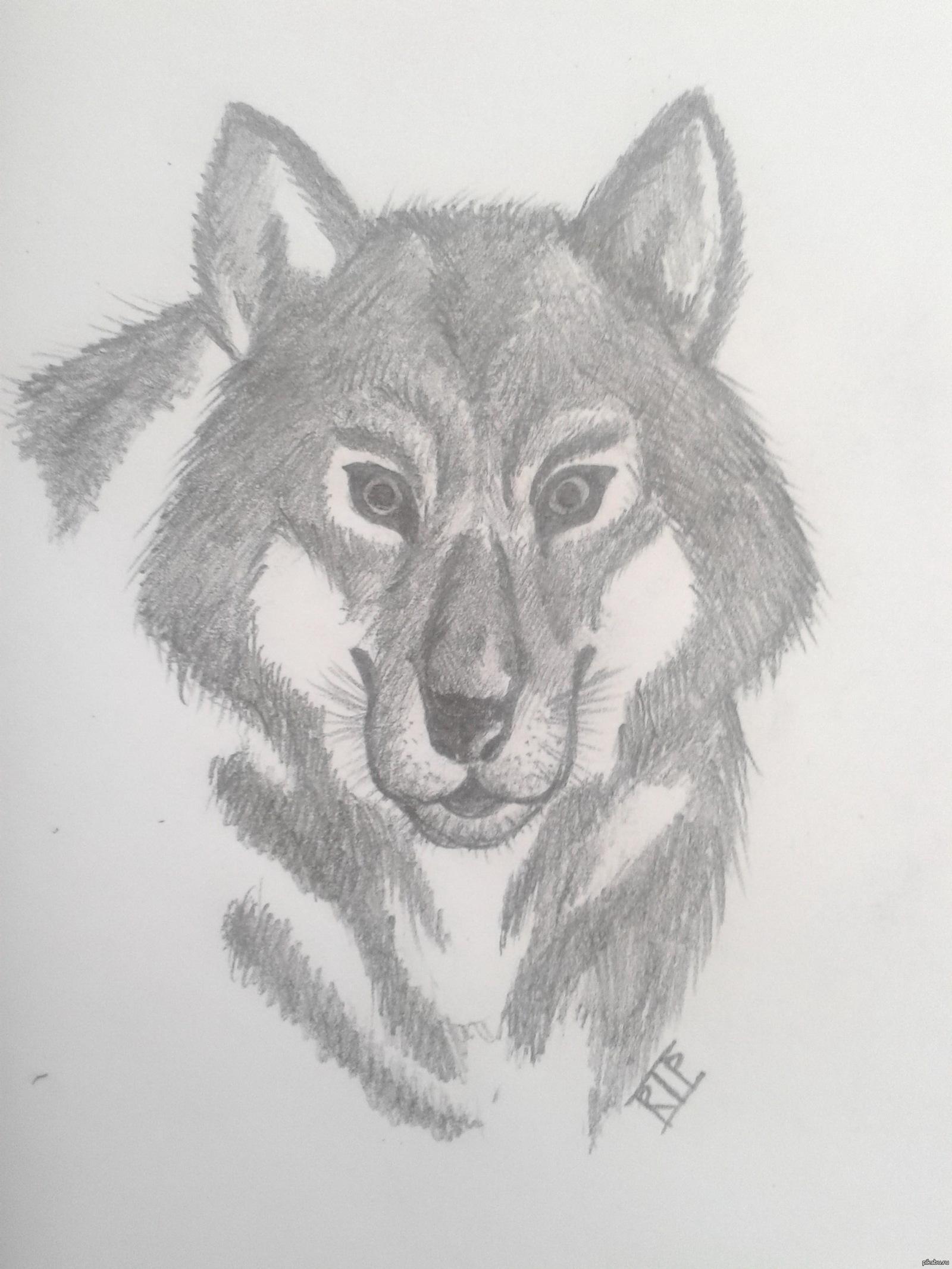 Картинка волка голова