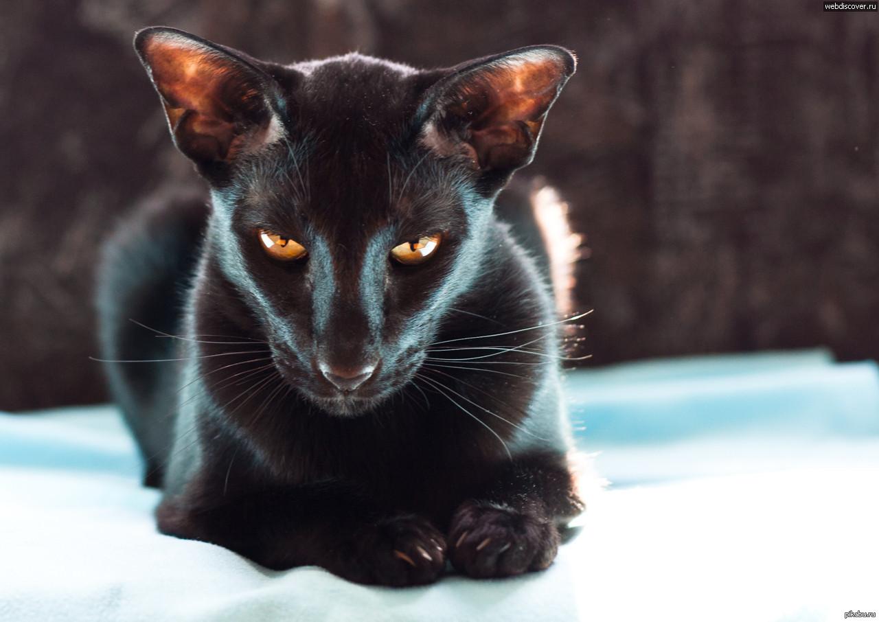 black cat breeds - 1061×750