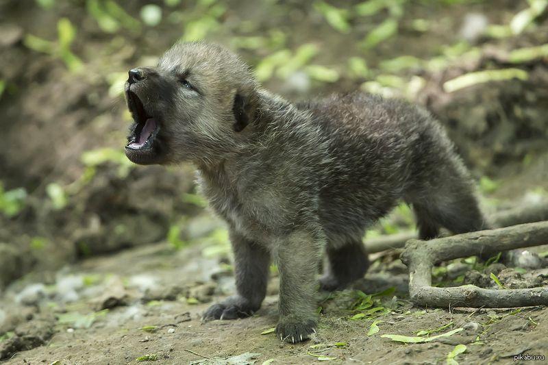 картинки волчонок воет пансионата сразу подняться