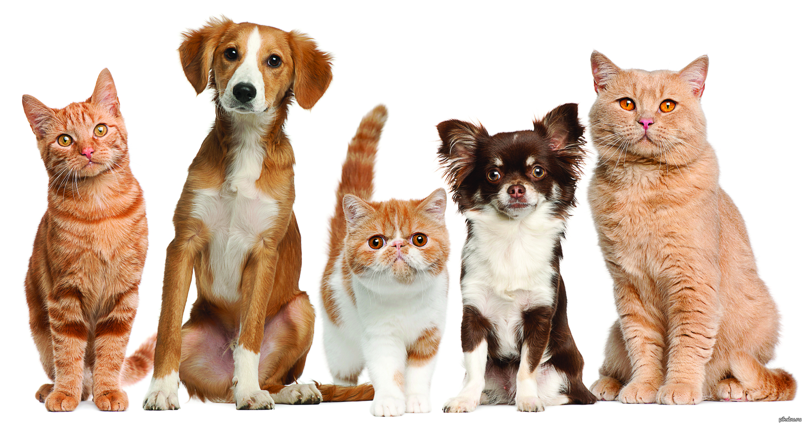 dogs as pets Seven leaf pets sells the most innovative pain management system for your beloved pets completely natural, cbd oil will relieve your pet's aches and pains seven leaf pets sells the most innovative pain management system for your beloved pets completely natural, cbd oil will relieve your pet's aches and pains.