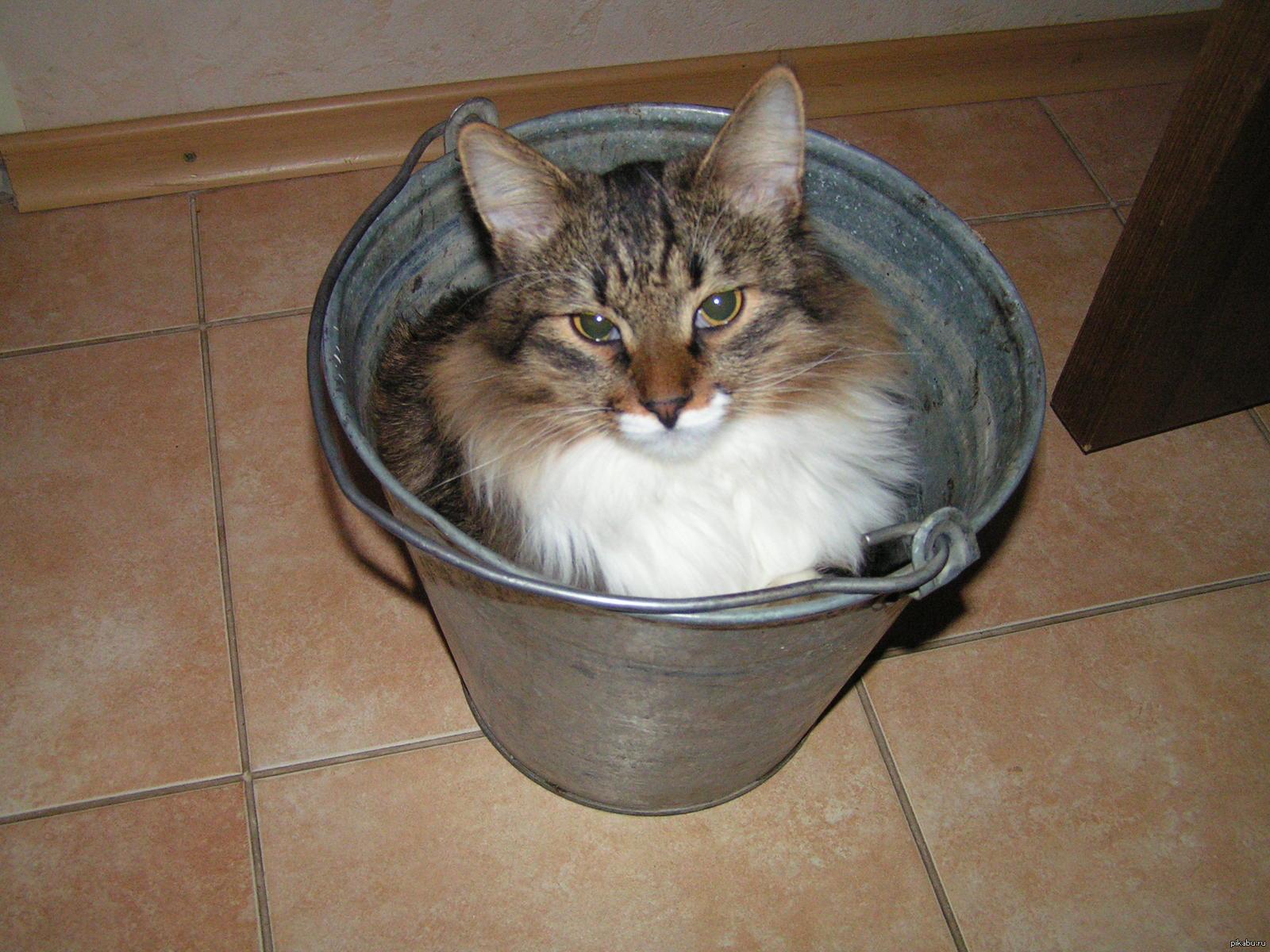 Кошка с ведром картинка