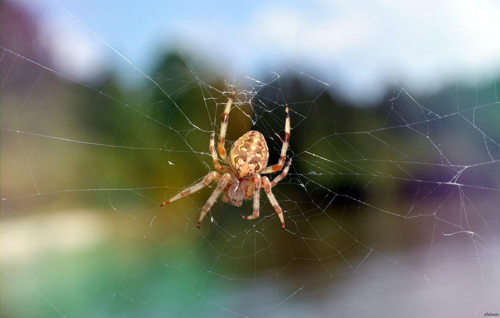 виды пауков в россии фото и названия хочу вам