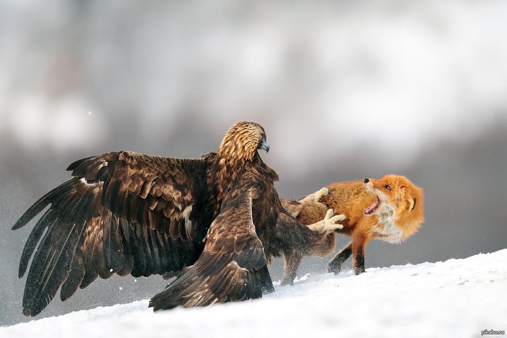 добычей фото орла с