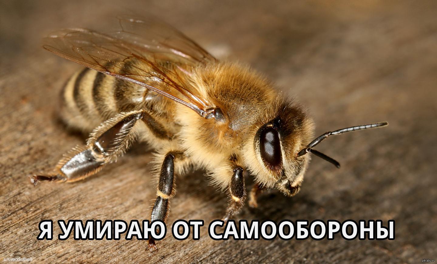 фото жало у пчелы