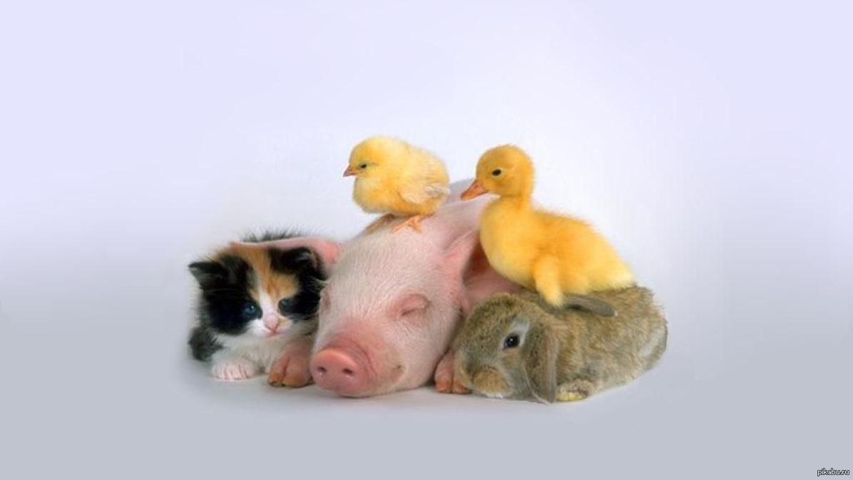 Веселые картинки с цыплятами