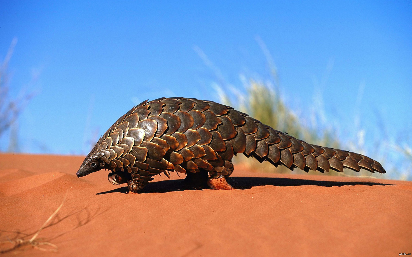 pangolin - HD 1600×1000