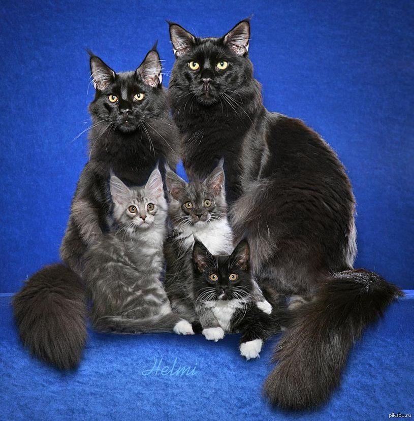 красивые чёрные кошки фото