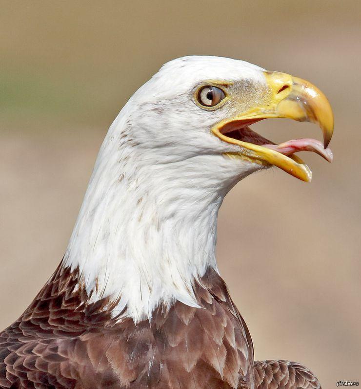 Картинка орла смешные